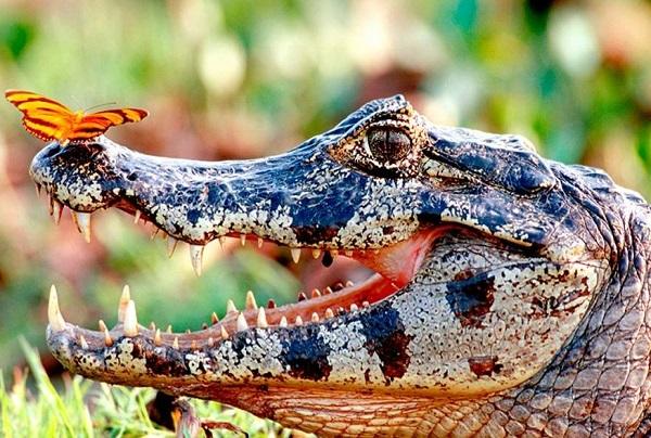 coccodrilli-in-australia