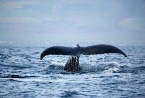 escursioni-avvistamento-balene-islanda
