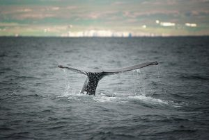 islanda-tour-avvistamento-balene