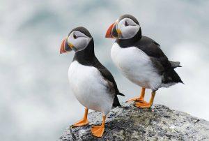 puffins-islanda-tour-italiano